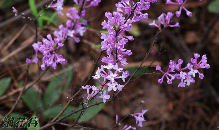Nguyên hoa
