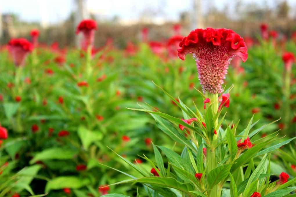 Hoa mào gà đỏ