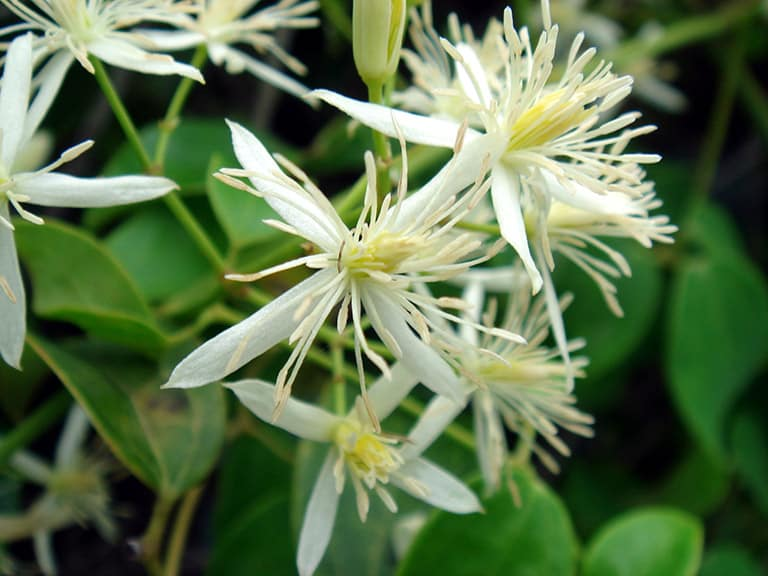 Hoa uy linh tiên