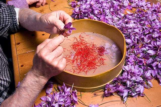 nhụy hoa nghệ tây Crocus sativus
