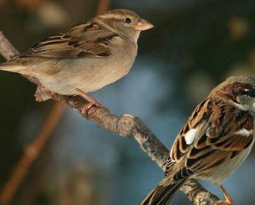 Công dụng của chim sẻ