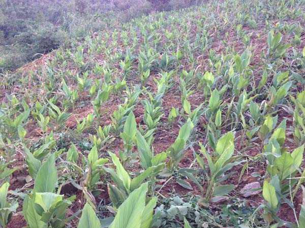 Gừng đen được đầu tư trồng trọt trong những năm gần đây