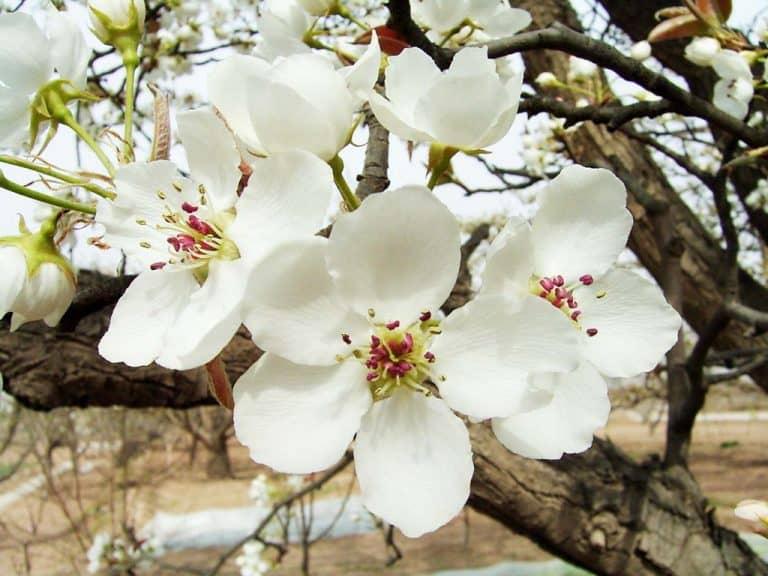 Hoa lê nở trắng xóa