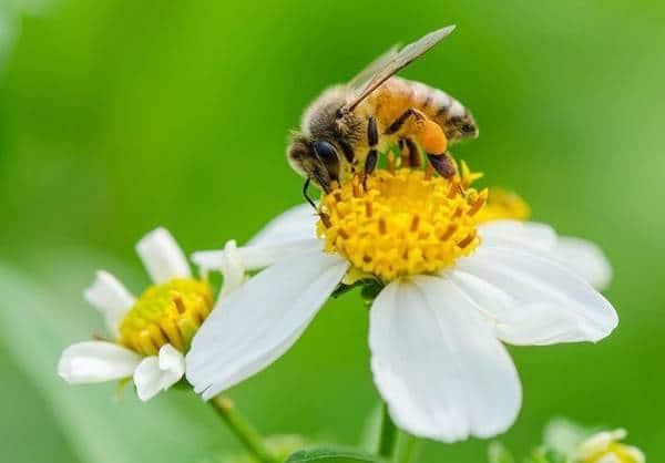 Hoa xuyến chi và loài ong