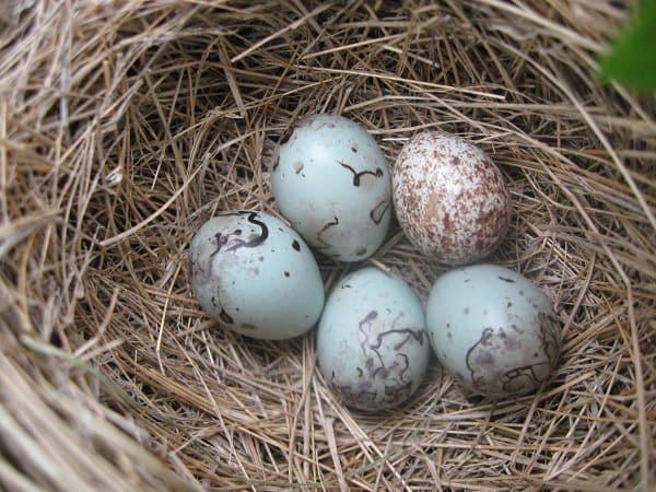 Trứng chim sẻ