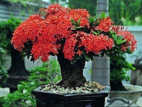 Bông trang đỏ (mẫu đơn đỏ), một loại cây cảnh được ưa chuộng hiện nay