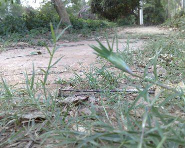 Cỏ gà (cỏ chỉ) mọc hoang bên vệ đường