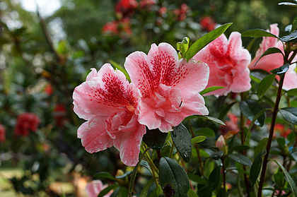 Một loại hoa đỗ quyên