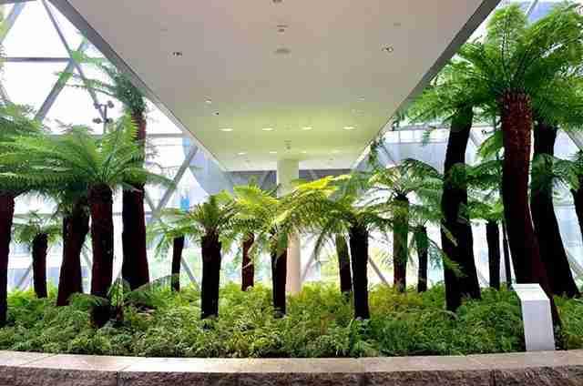 Những cây dương xỉ thân gỗ được dùng trong trang trí nhà cửa