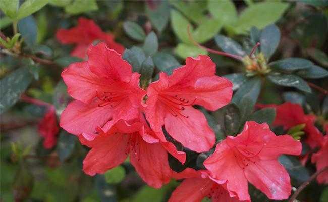 Đỗ quyên hoa đỏ