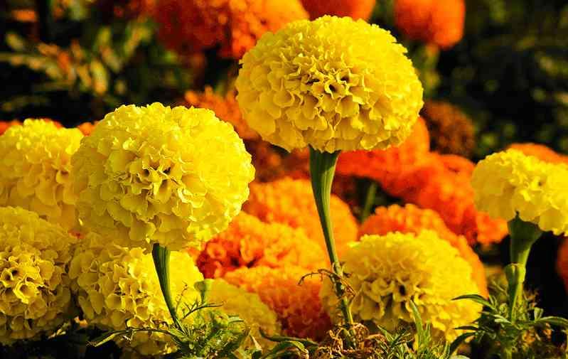 Hoa vạn thọ