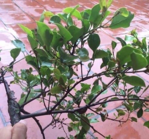 Tầm gửi trên cây dâu tang ký sinh