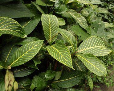 Công dụng của cây xăng sê hay cây khôi đốm