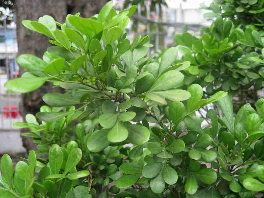 Ngâu Việt
