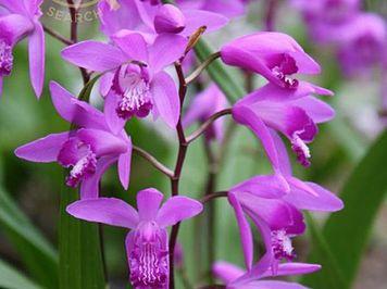 Hoa lan bạch cập