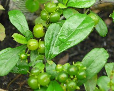 Hình ảnh cây bùm sụm
