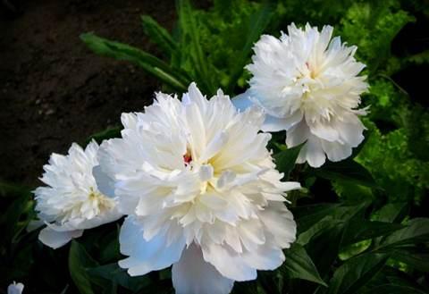 Cây thược dược hoa trắng