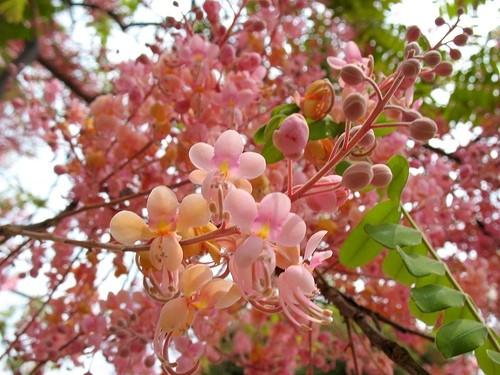 Hoa ô môi
