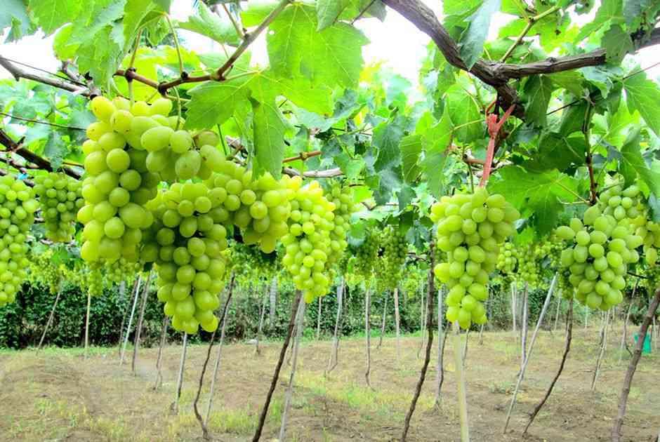 Vườn nho Ninh Thuận công dụng của quả nho