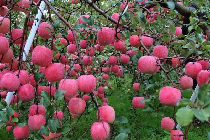Vườn bom trĩu quả trái bom