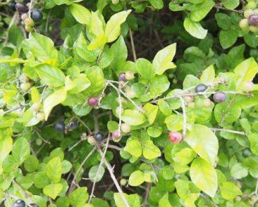 Cây trân châu
