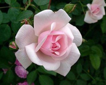 Hoa nguyệt quý