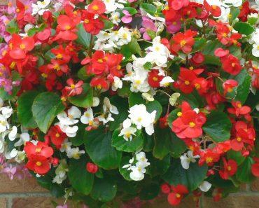 Hoa thu hải đường đỏ và trắng
