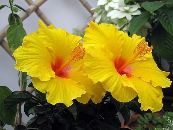 Hoa râm bụt màu vàng - loại thường dùng làm cảnh