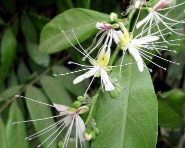 Hoa lá cây bùng chè