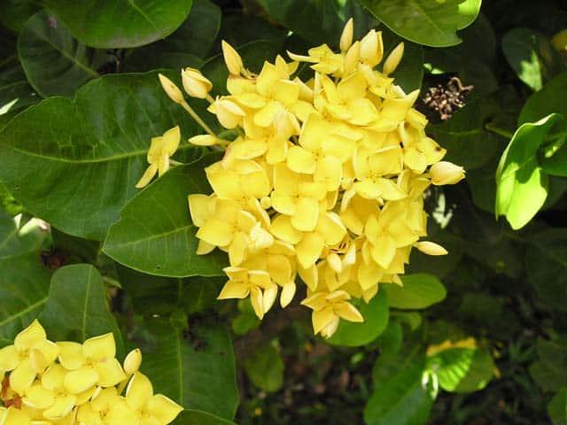 Bông trang vàng