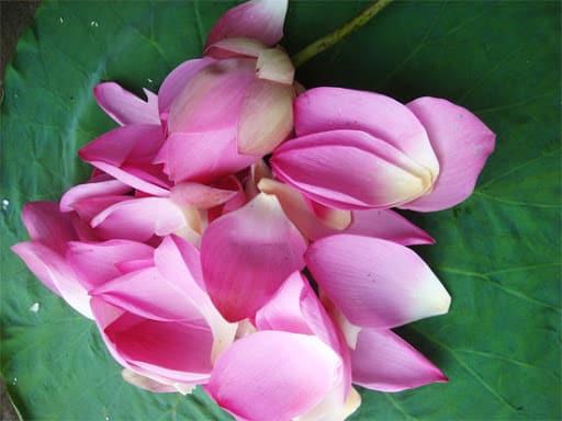 Món ăn bài thuốc điều trị bệnh từ hoa sen hồng