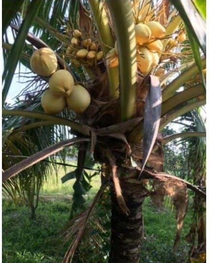 Cây dừa Tam Quan