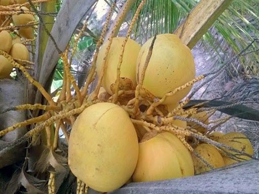 Dừa Tam Quan