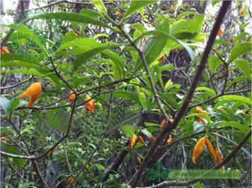 cây ớt làn lá nhỏ
