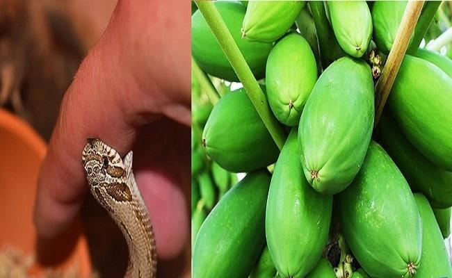Sơ cứu rắn cắn bằng đu đủ xanh