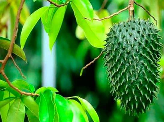 Trái mãng cầu xiêm để làm trà (trái chưa chín)