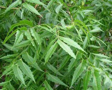 Cây sầu đâu miền Tây (cây neem Ấn Độ)