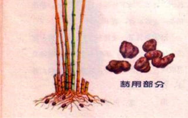 Lôi hoàn (nấm gốc tre ruột trắng)