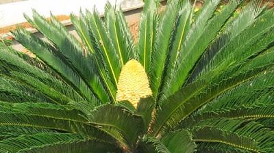Nón đực của cây vạn tuế