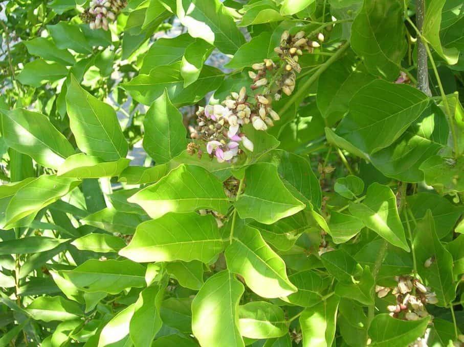 Hình ảnh cây cổ giải diệt ruồi