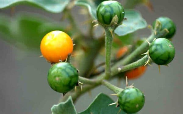 Trái cà dại hoa tím