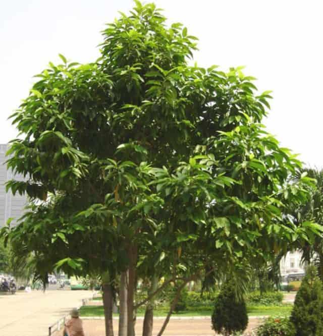 Cây ngọc lan thuộc dạng thân gỗ