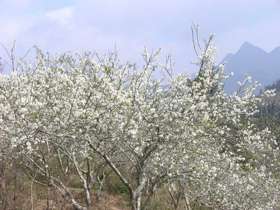 Hoa mận nở trắng đồi
