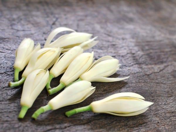 Các búp hoa ngọc lan dùng làm thuốc