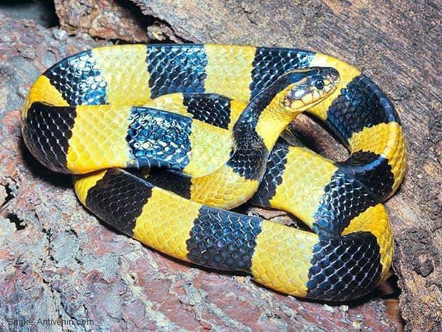 Dùng rắn làm thuốc