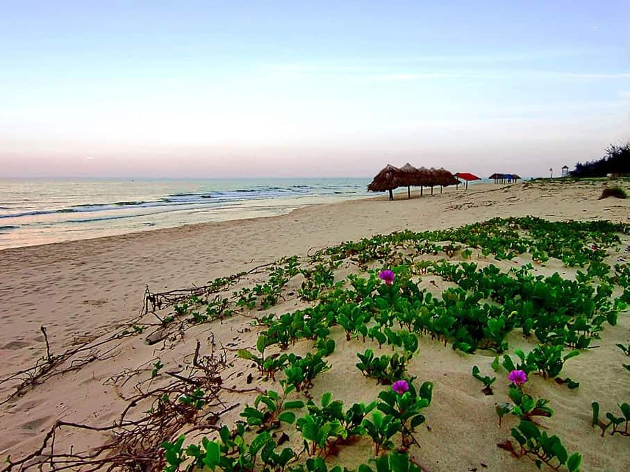 Rau muống biển mọc ven các bờ biển ở Việt Nam