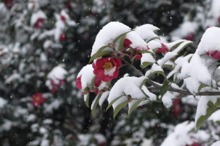 Hoa sơn trà Nhật Bản nở trong tuyết lạnh