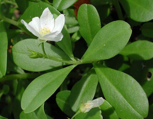 Thổ nhân sâm ba cạnh (loại hoa trắng)