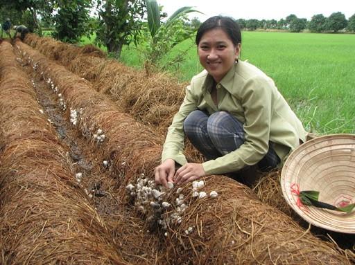 Thu hoạch nấm rơm