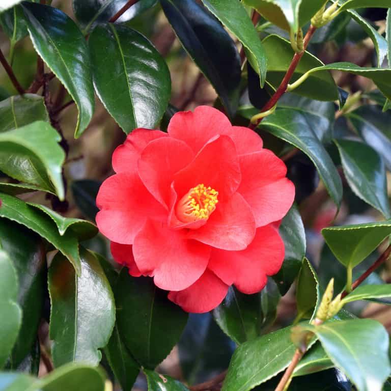 Trà hoa Nhật - sơn trà Nhật Bản